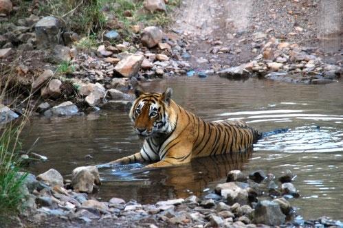 Oplev tigre i Ranthambhore Nationalparken i Rajastahn på rejser til Indien